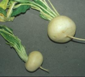 Ploidía. Su papel en la Evoluciñon de las Plantas Cultivadas Brassica_napus_relnapiforme2_jr_sm